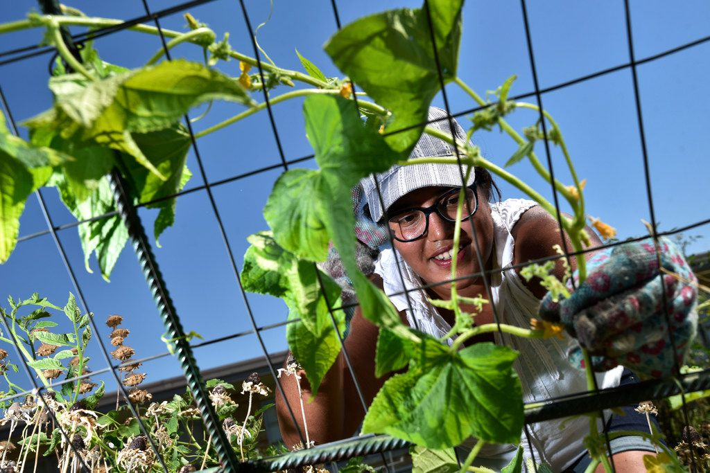 Parent and volunteer Maria Amaya, 36, tends to a cucumber vine while working the garden at Edwin J. Kiest Elementary on July 25, 2018 in Dallas.