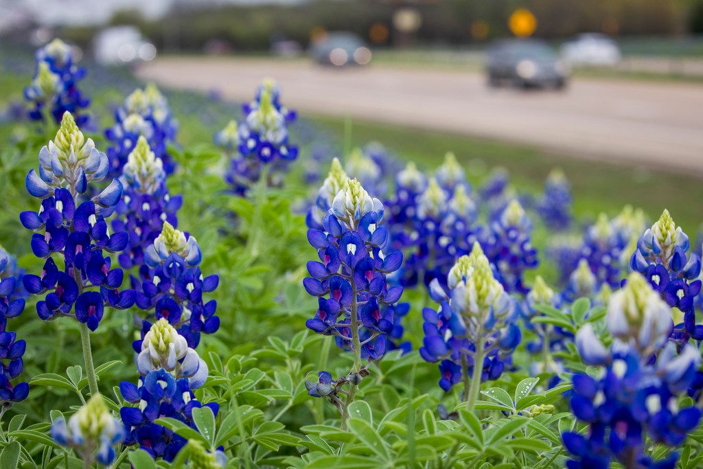 Bluebonnets seen on a hillside next to I-45 on Sunday, March 25, 2018, in Ennis, Texas. (Smiley N. Pool/The Dallas Morning News)