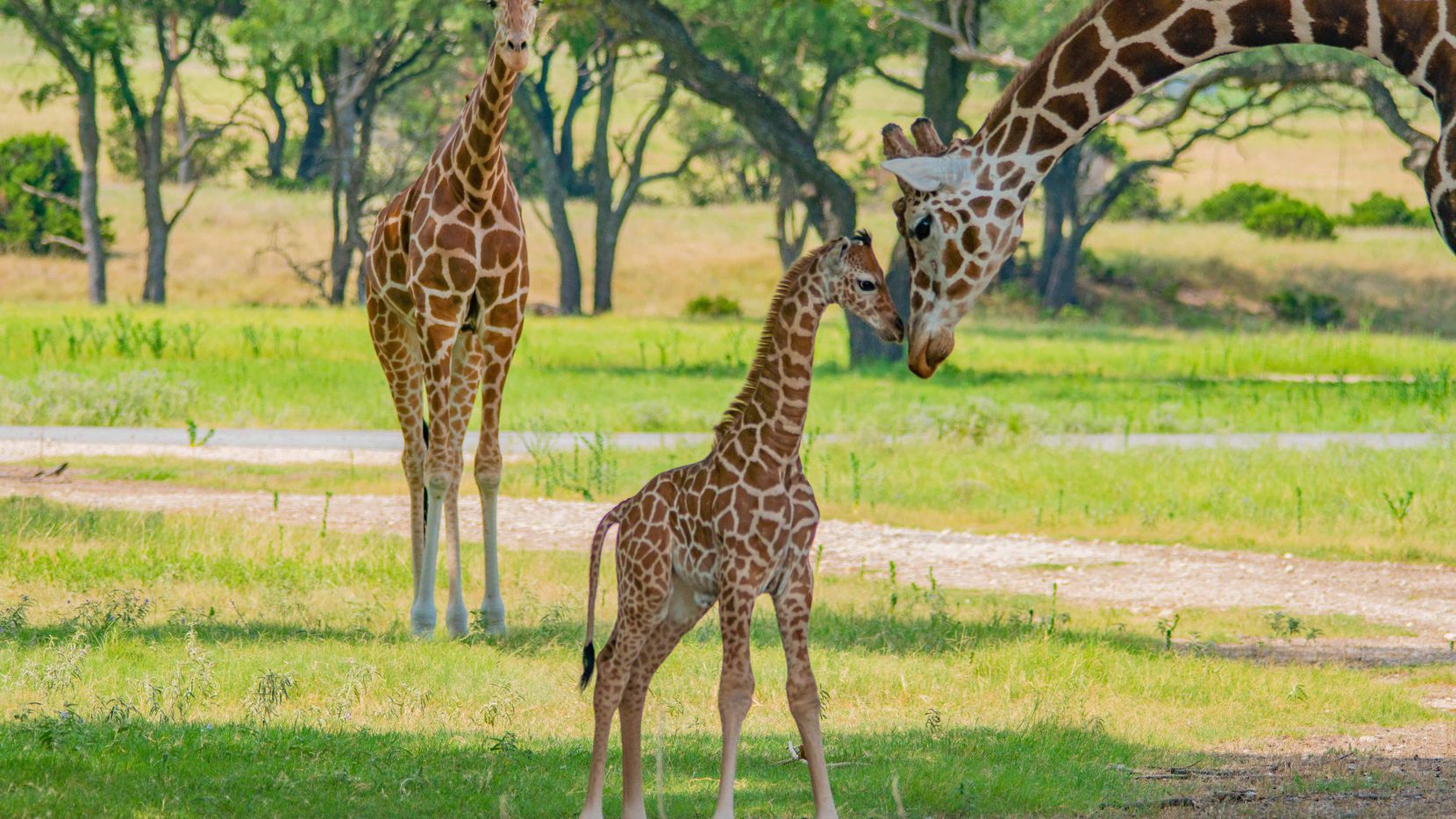 The Fossil Rim Wildlife Center in Glen Rose welcomed its 12th giraffe to the herd on July 20. The calf was born to mother Nettie and father Mosi.