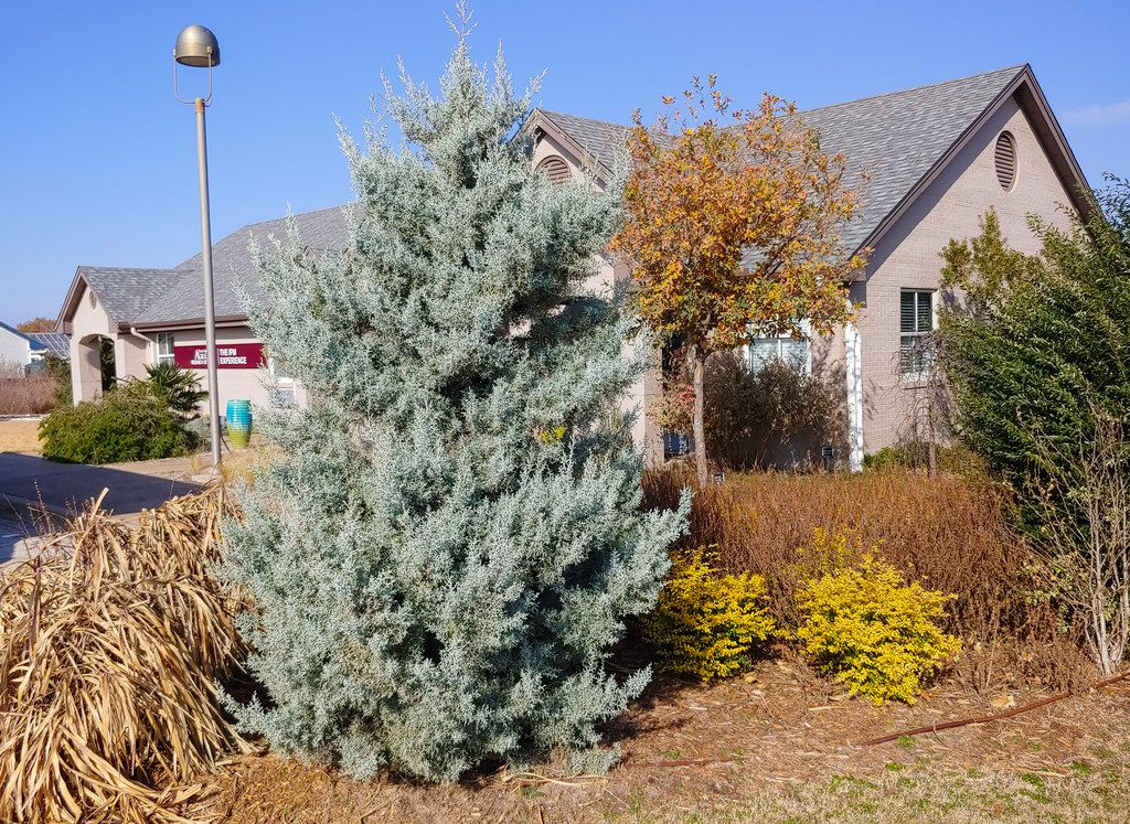 Arizona Cypress makes a good living Christmas tree in Texas.