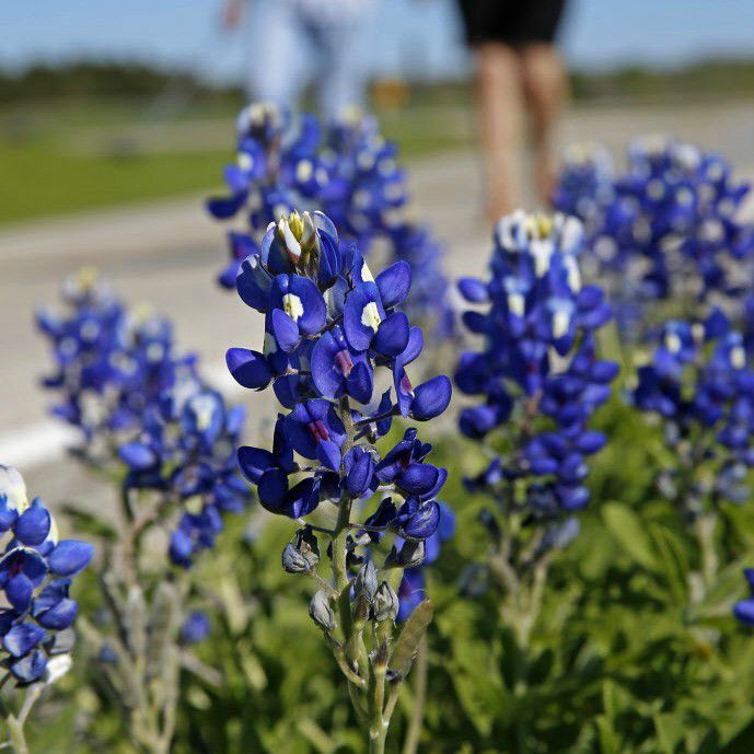 A couple walks near Bluebonnet City Park in Ennis.