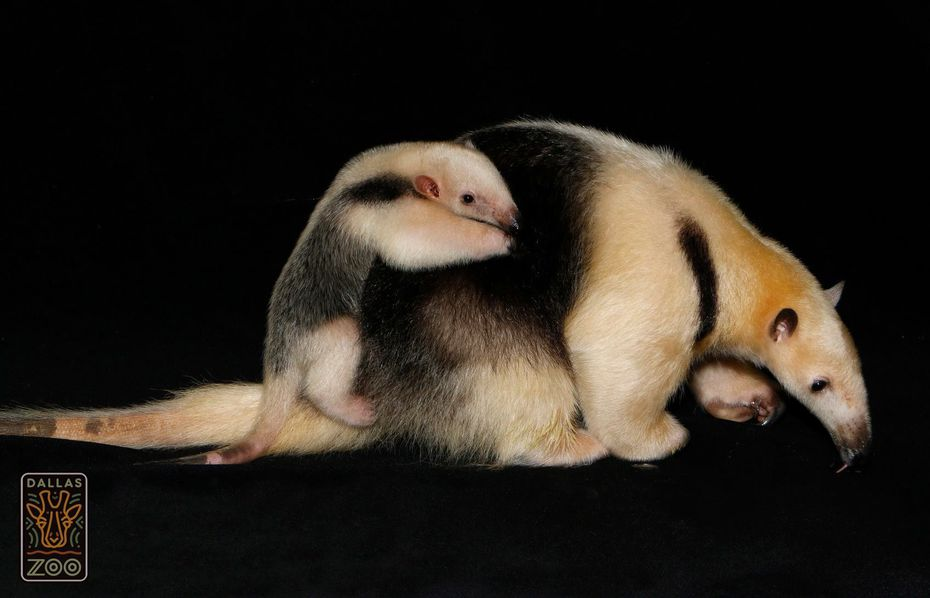 Chispa the lesser anteater and her baby, Cora.