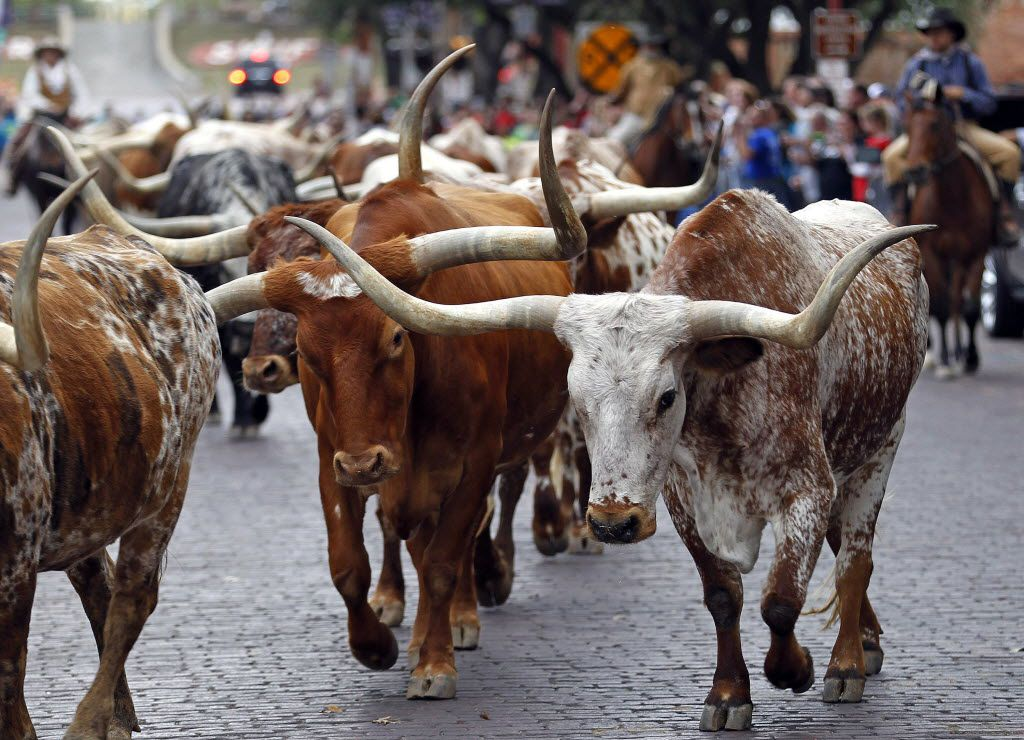 The Fort Worth Herd moseys along Exchange Avenue in Fort Worth twice daily.