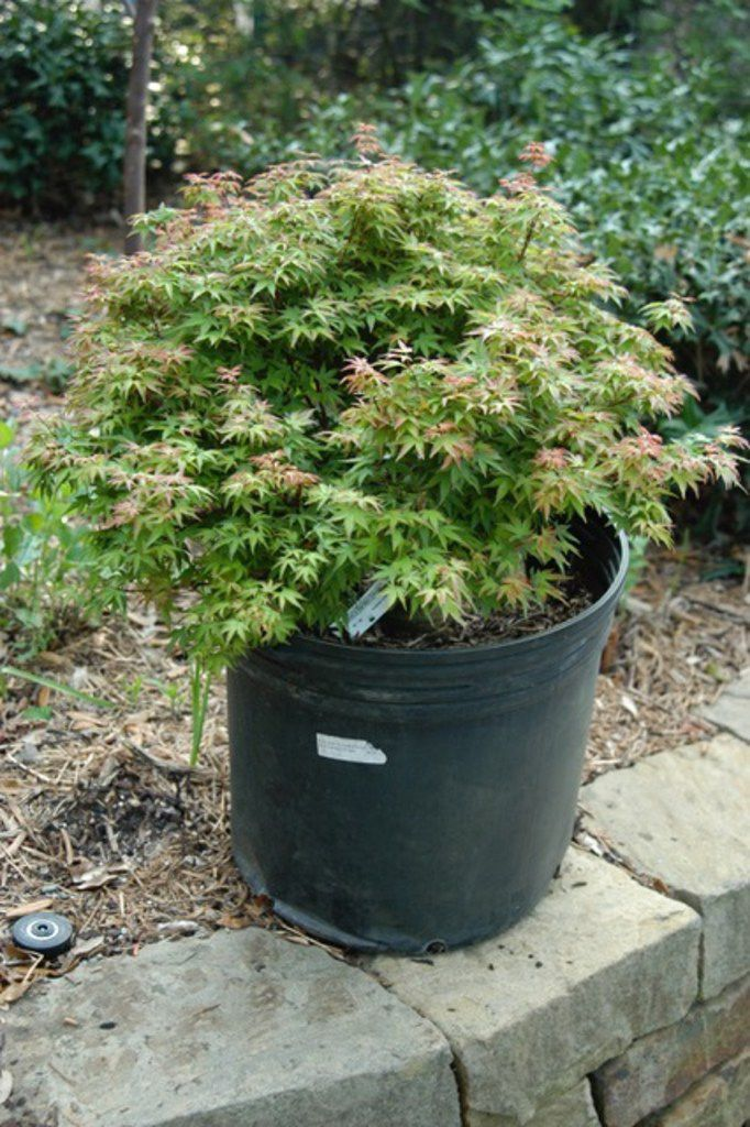 This 7-gallon dwarf Japanese maple tree purchased at a nursery is planted too deep in its container.