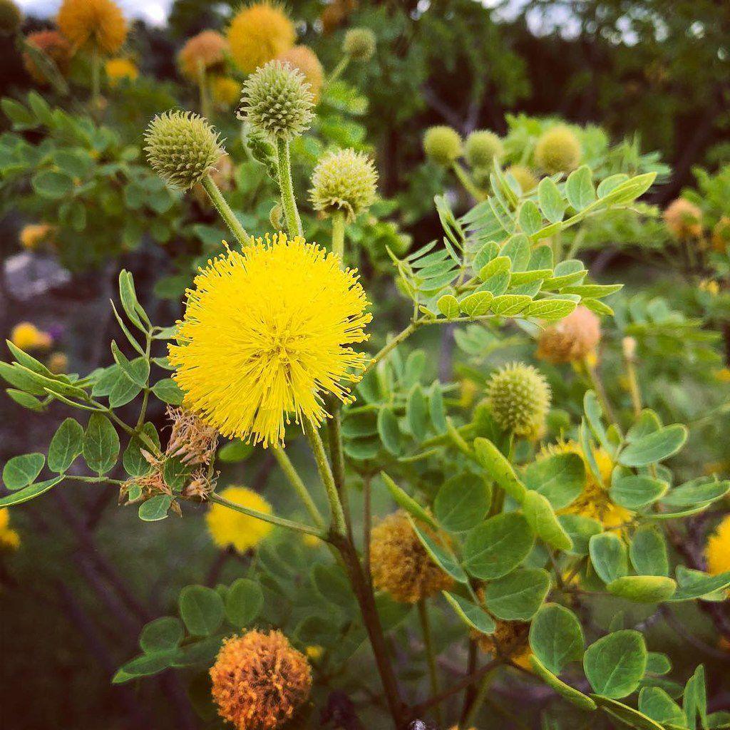 Goldenball leadtree