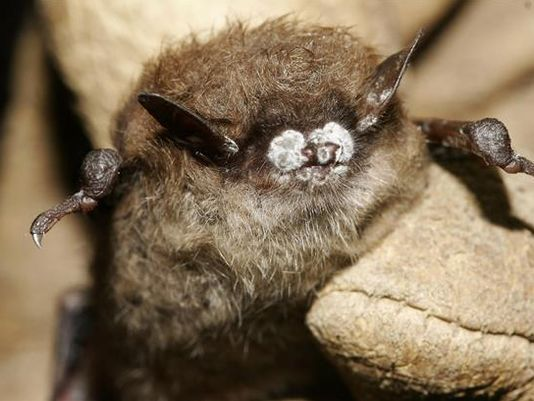 The white fungus saps nutrients from hibernating bats, causing them to starve