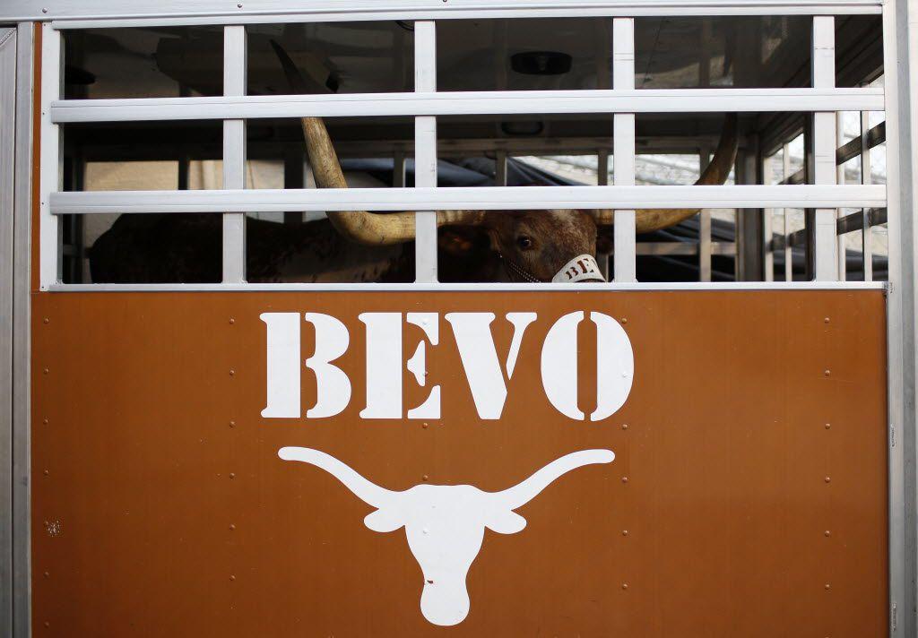 Texas mascot Bevo XIV waits in his trailer during the Red River Rivalry at Fair Park in 2013. His successor, Bevo XV, was announced Monday. (Garett Ray Fisbeck/The Dallas Morning News)