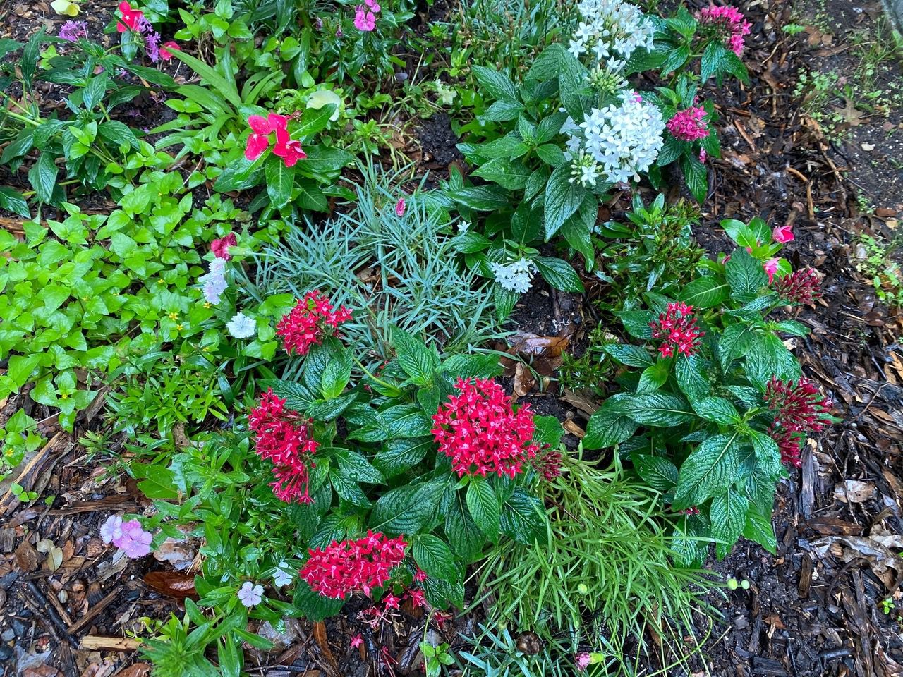 Pentas can be combined with other colors and textures in a mixed planting.
