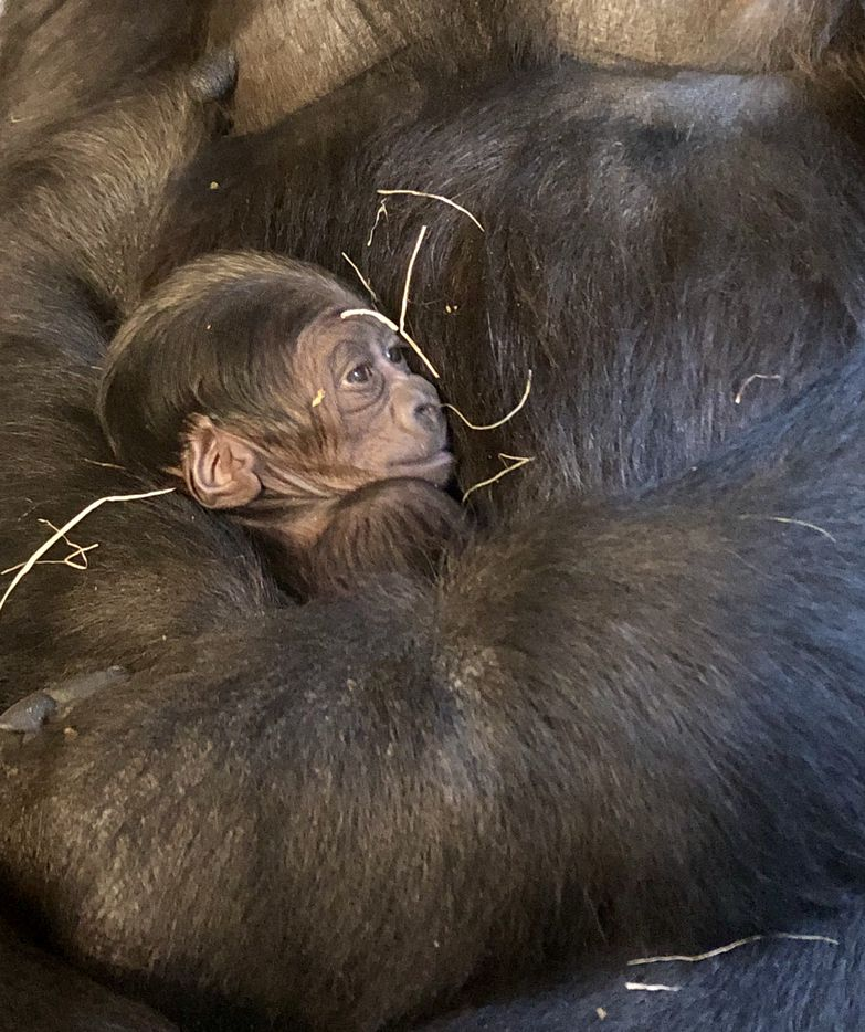Megan, a 13-year-old gorilla at the Dallas Zoo, holds her baby a few days after giving birth at the Dallas Zoo. The baby is the Dallas Zoo's second baby gorilla in 21 years.