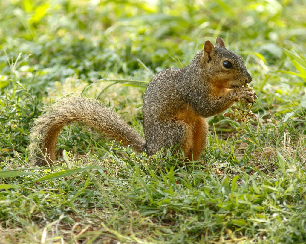 A squirrel photographed at Bachman Lake July 17, 2017.