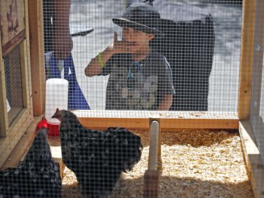 Leo Barrios, 4, of Richardson checks out a Chinese Cochin Chicken on display by Legalize Backyard Chickens at a Learn 2 Live Green event at The Shops at Legacy in Plano.