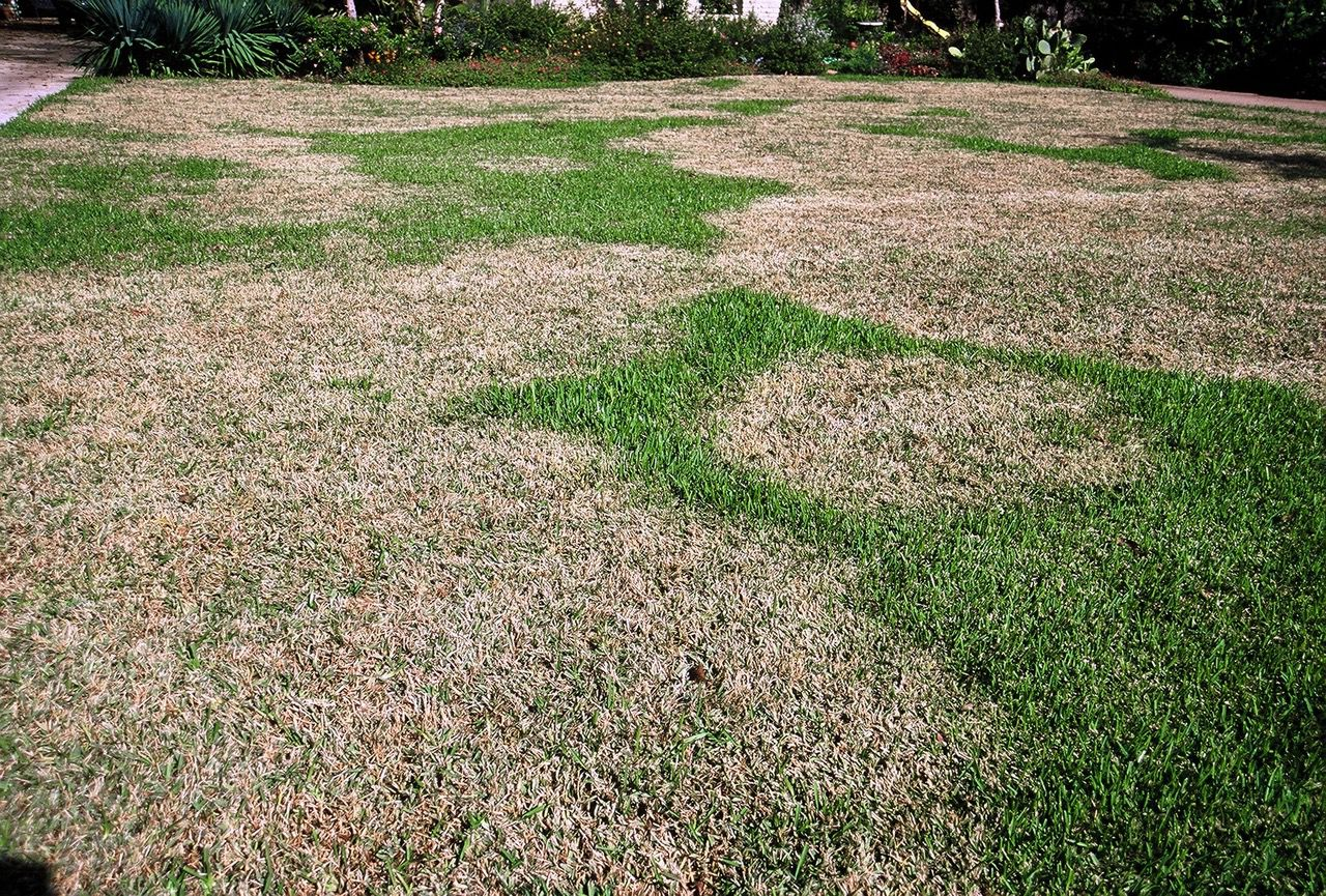 Brown patches in your lawn, like these in St. Augustine grass, are a sign of a fungal or other disease.