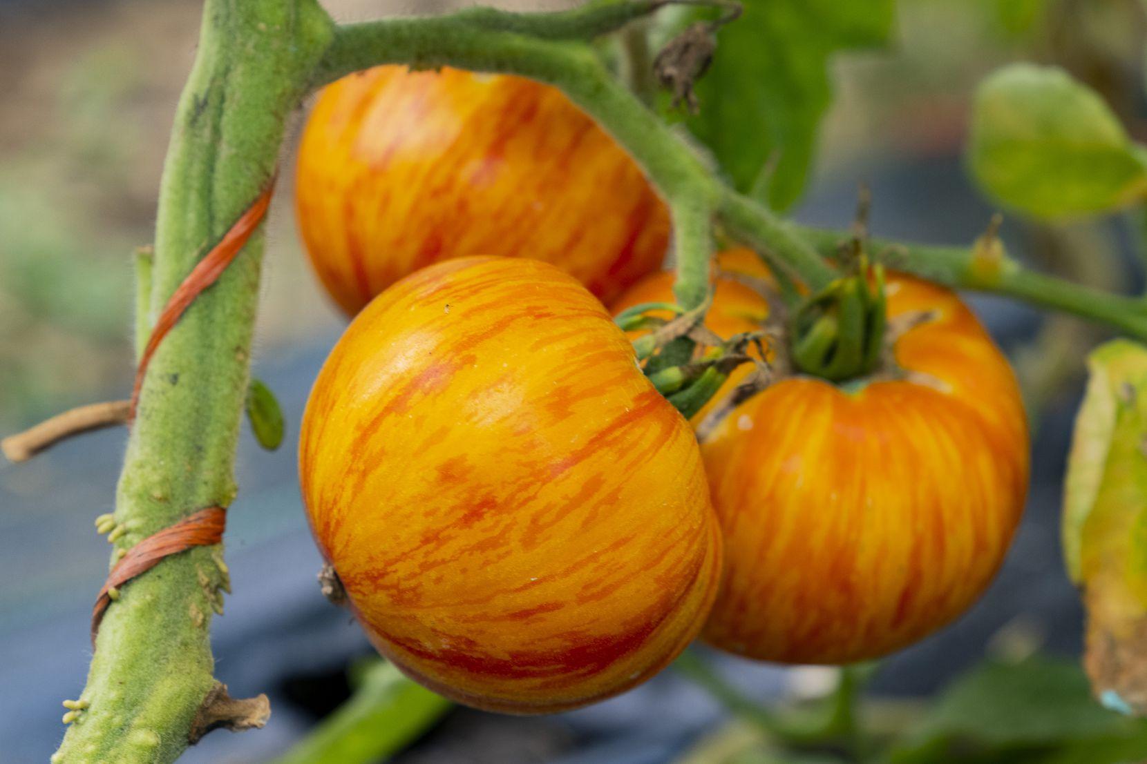 A solar flare heirloom tomato grows on the vine at Misty Moon Farms.