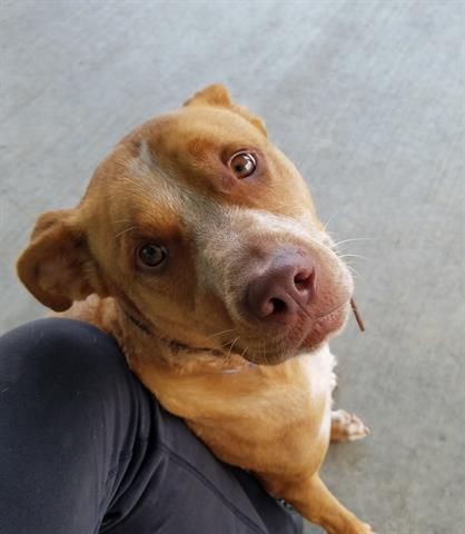 Everett, a two-year-old pit bull terrier mix, is available for adoption.