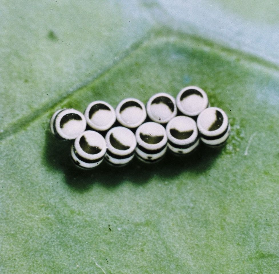 Harlequin bug eggs always come with 10 eggs in a bunch, two rows of five side by side.