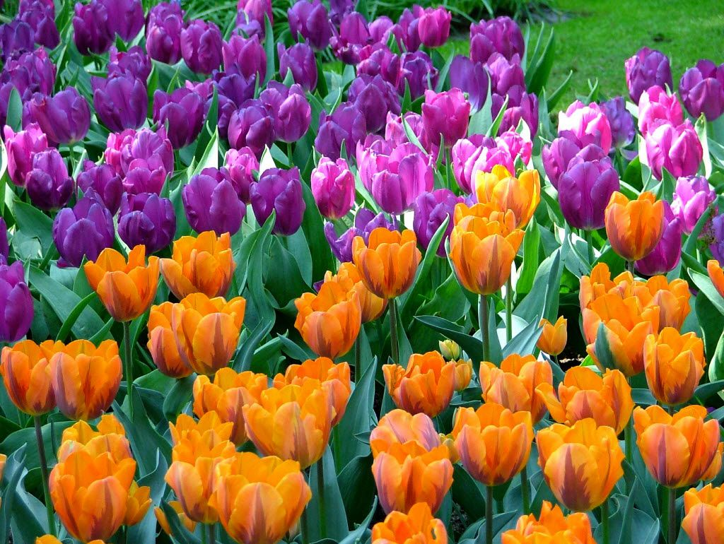 Keukenhof, in the Dutch city of Lisse, features some 7 million spring-flowering bulbs, mostly tulips.