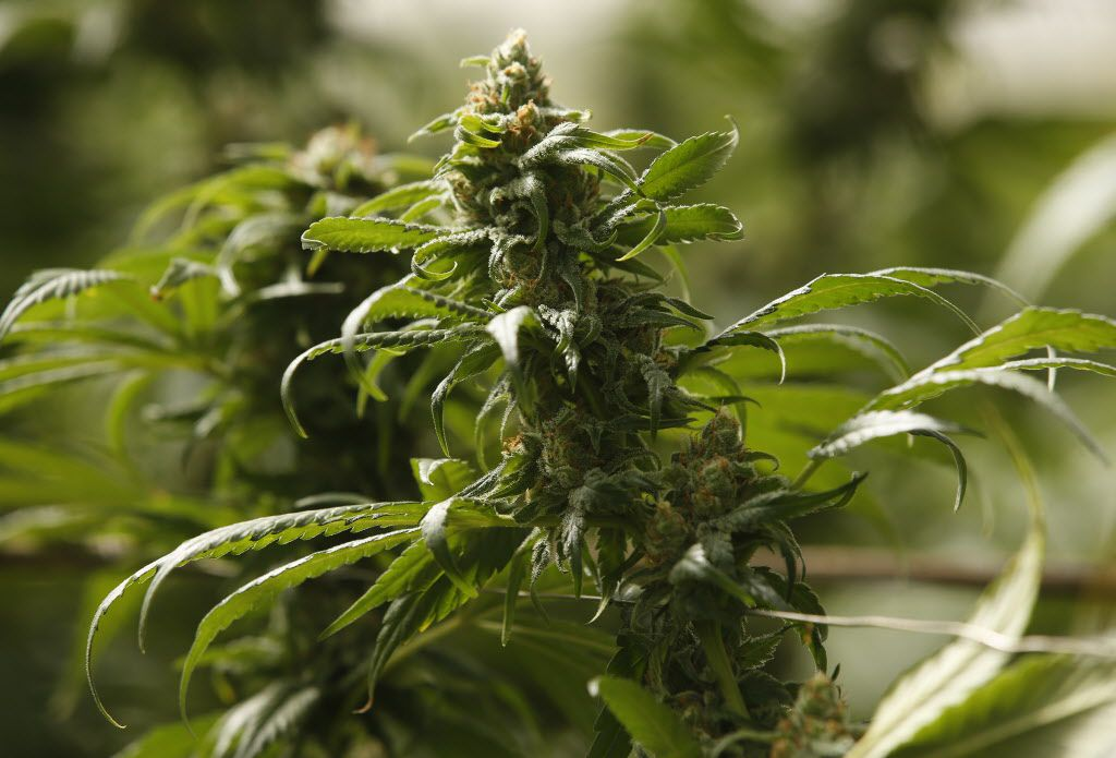The buds on marijuana plants begin to mature in a legal, commercial growing greenhouse in Monterey County, Calif. Proposition 64, which allows California adults to possess, transport and buy up to an ounce of marijuana, won passage with 56 percent of the vote.
