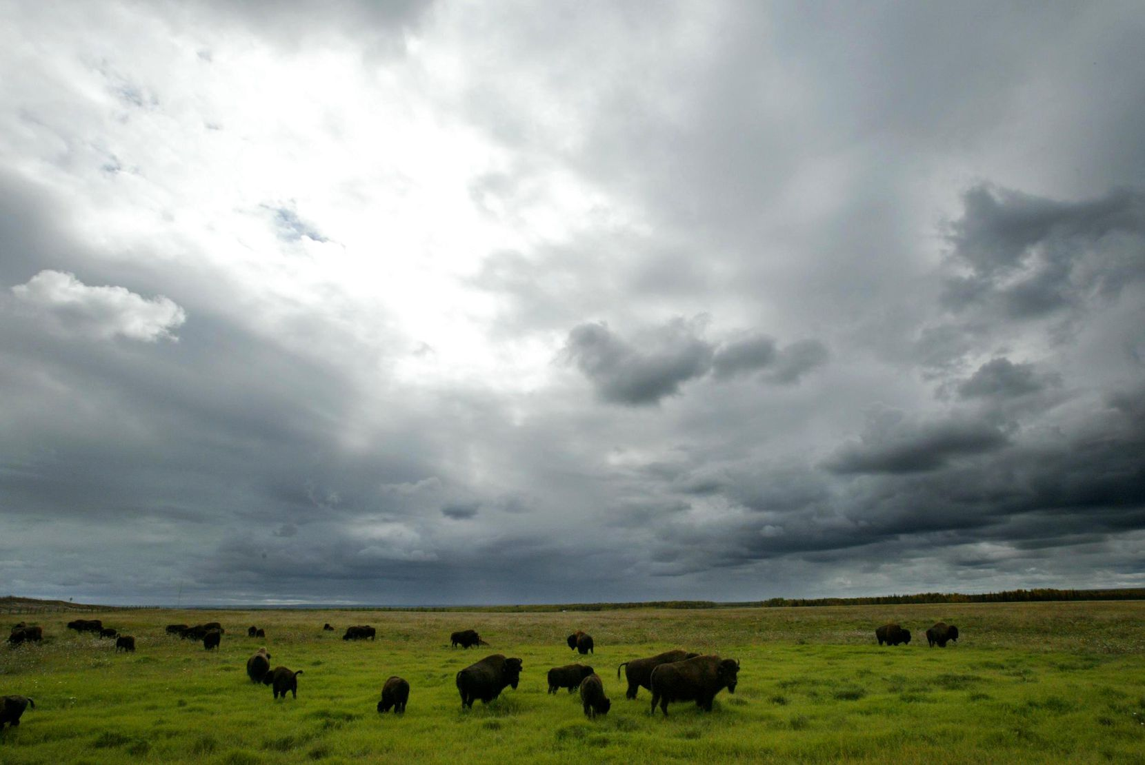 2005 FILE PHOTO -- Syncrude Canada Ltd. manages a 300 head wood bison herd as part of their reclamation program which aims to return the land used for mining back to its original state. Aboriginal communities are also consulted in matters relating to environmental practices.