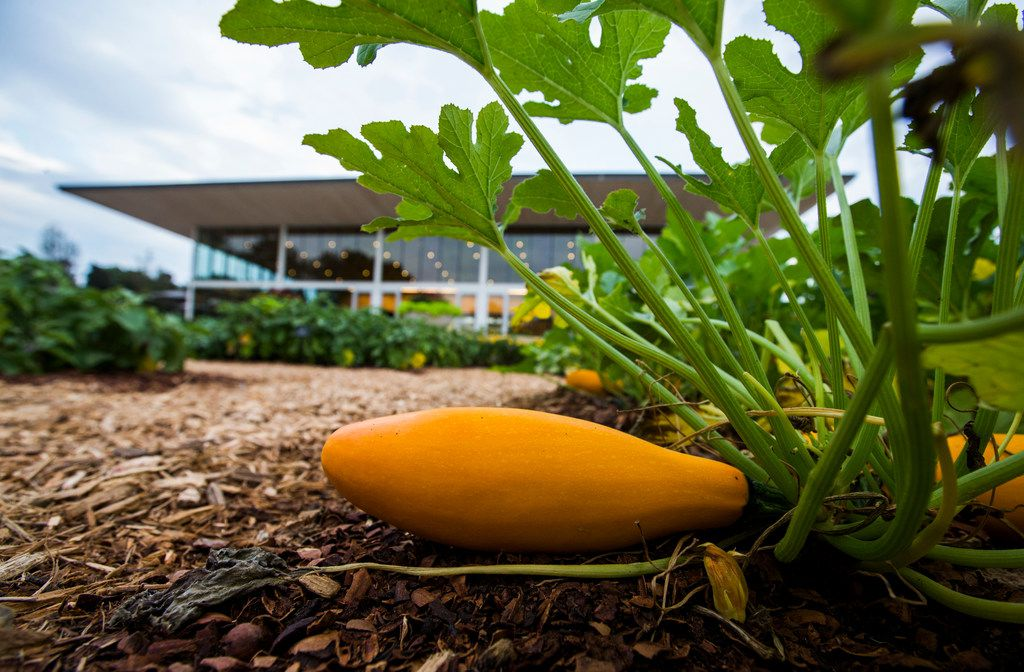 An Easypick Gold squash grows in the edible garden.