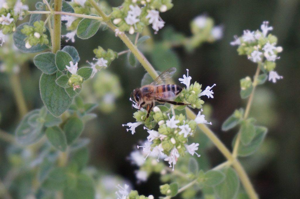 Bees love hyssop.