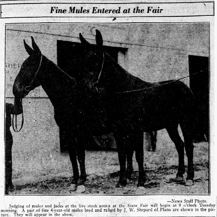 Fine Plano mules entered in the State Fair bred by J.W Shepard