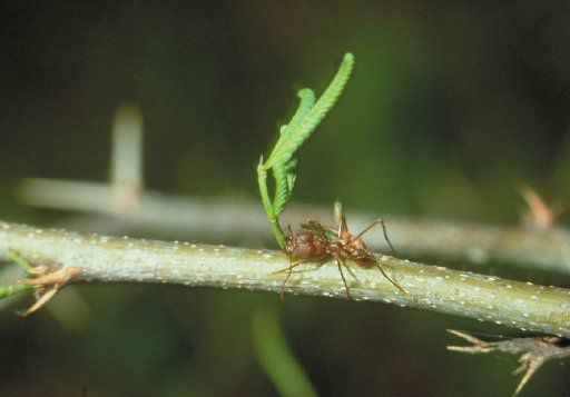 A Texas leaf cutter ant carrying a leaf that it has removed from a plant.