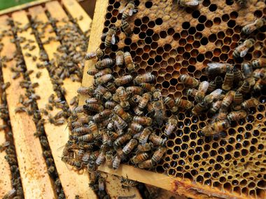Honey bees are pictured in this file photo.