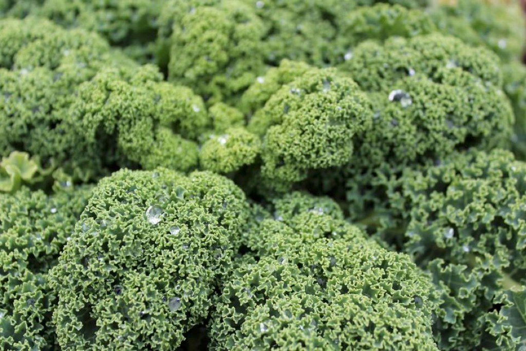 'Prizm' kale gets a thumbs-up for area gardens from the Dallas Arboretum.