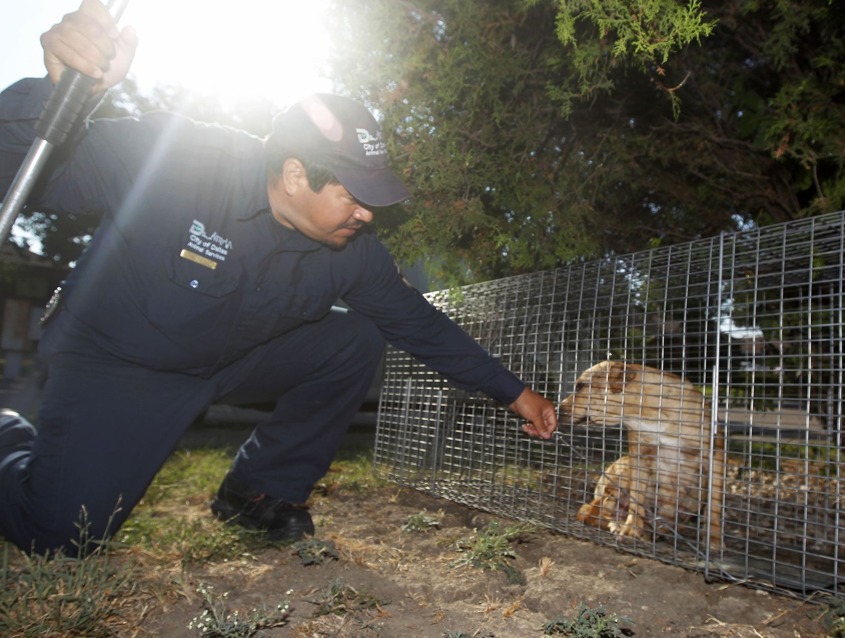Dallas Animal Services animal control officer Esteban Rodriguez, lets a stray dog that was trapped sniff him prior to unloading the trap in southwest Dallas.