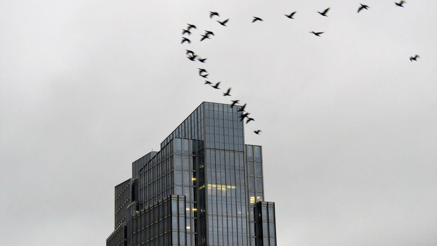 Una de cada tres aves que migran en Estados Unidos pasan por Texas y Fort Worth apagará las luces de sus edificiones para facilitar su paso.