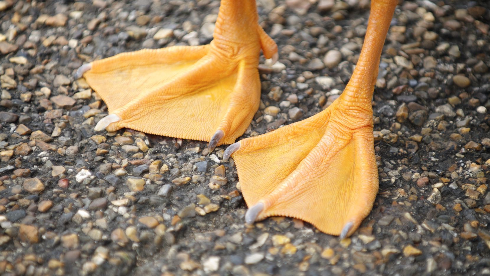 Pair of bright orange webbed feet from an unrecognizable bird stand on textured stone background