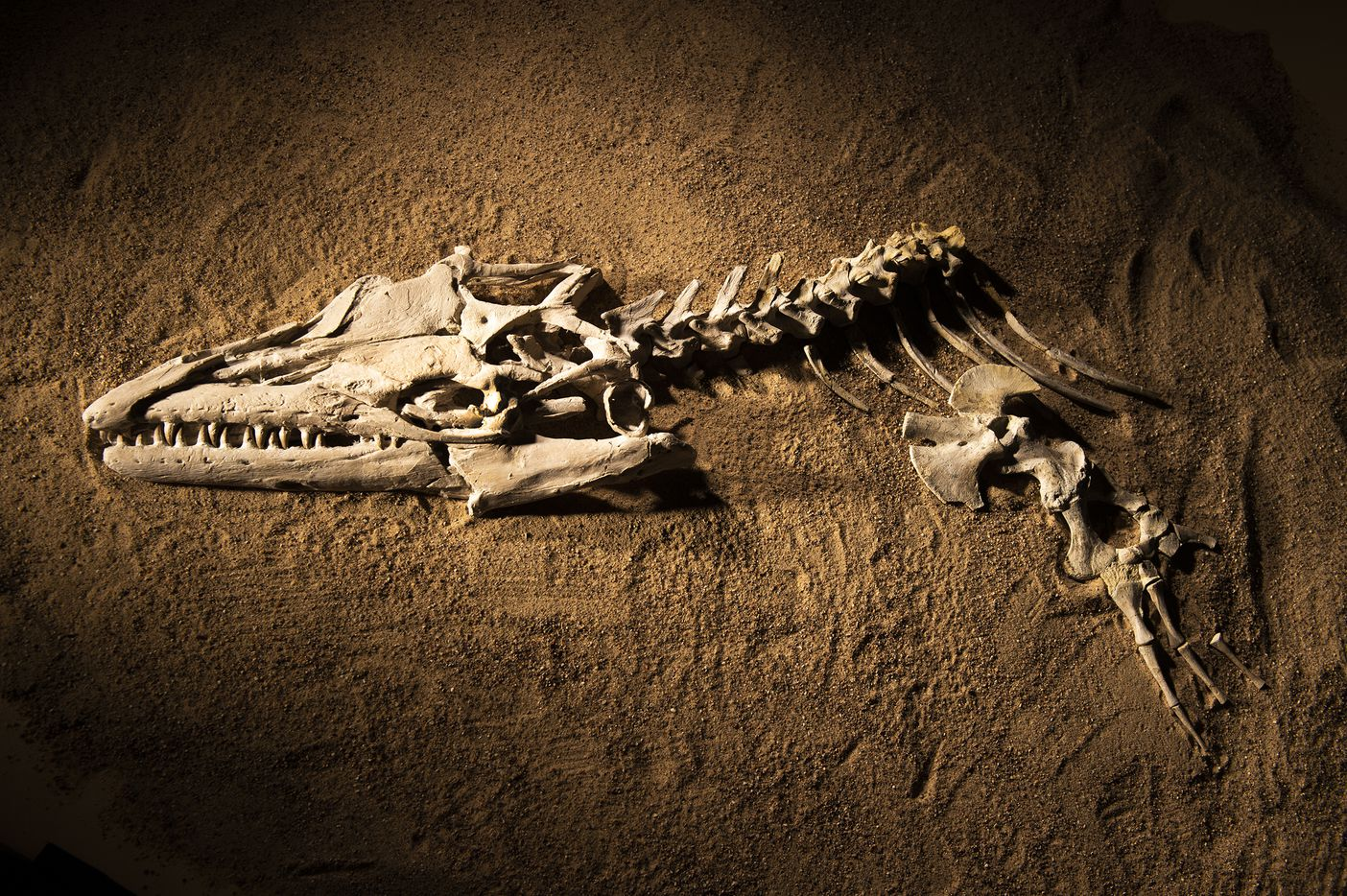 "The fossil skull and partial skeleton of mosasaur Angolasaurus bocagei excavated from Angola'­s coastal cliffs for display in ""Sea Monsters Unearthed."" When the South Atlantic ocean basin was still young, a new deep-water connection between the Southern and Northern Hemispheres allowed giant marine reptiles from the north to move into Angola's coastal waters. Mosasaurs, drawn by the region's plentiful food, were among the first reptiles to prowl these waters. These giant lizards once dominated ocean ecosystems around the world, including along Angola'­s coast."