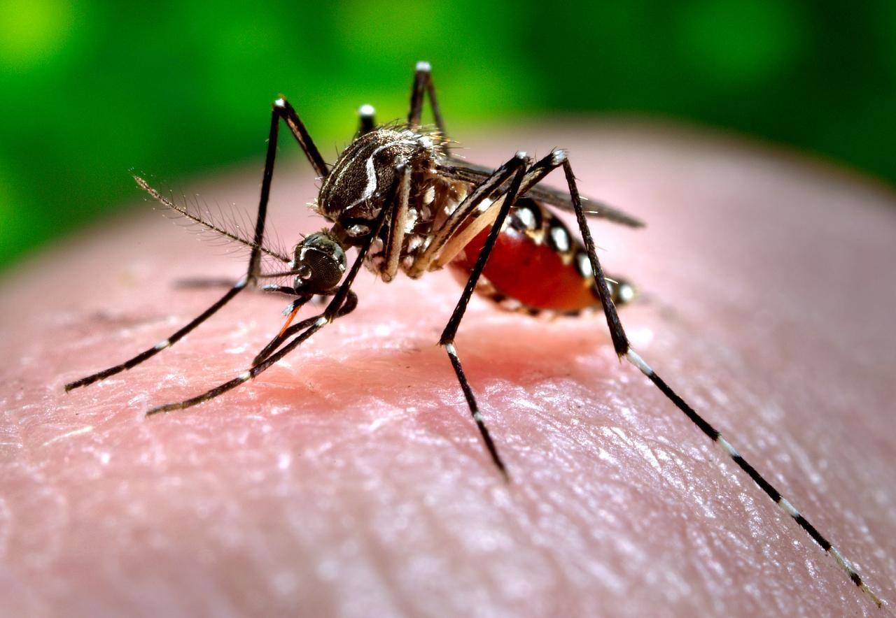 El mosquito de la especie Aedes aegypti transmite tanto el chikunguña como el zika. (CDC/JAMES GATHANY)