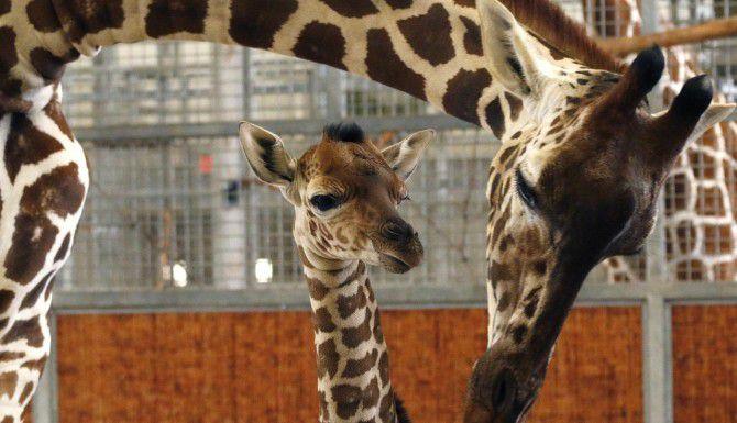 Kipenzi (centro), la jirafa bebé del Zoológico de Dallas, murió el martes a consecuencia de un accidente. Funcionarios del zoológico creen que la jirafa se golpeó el cuello o la cabeza cuando corría. (AP/ARCHIVO)