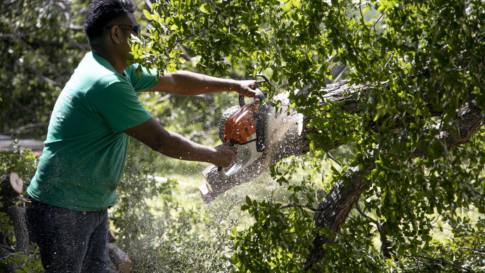 Bryan Benavides cuts down a tree from a yard near White Rock Lake in Dallas.