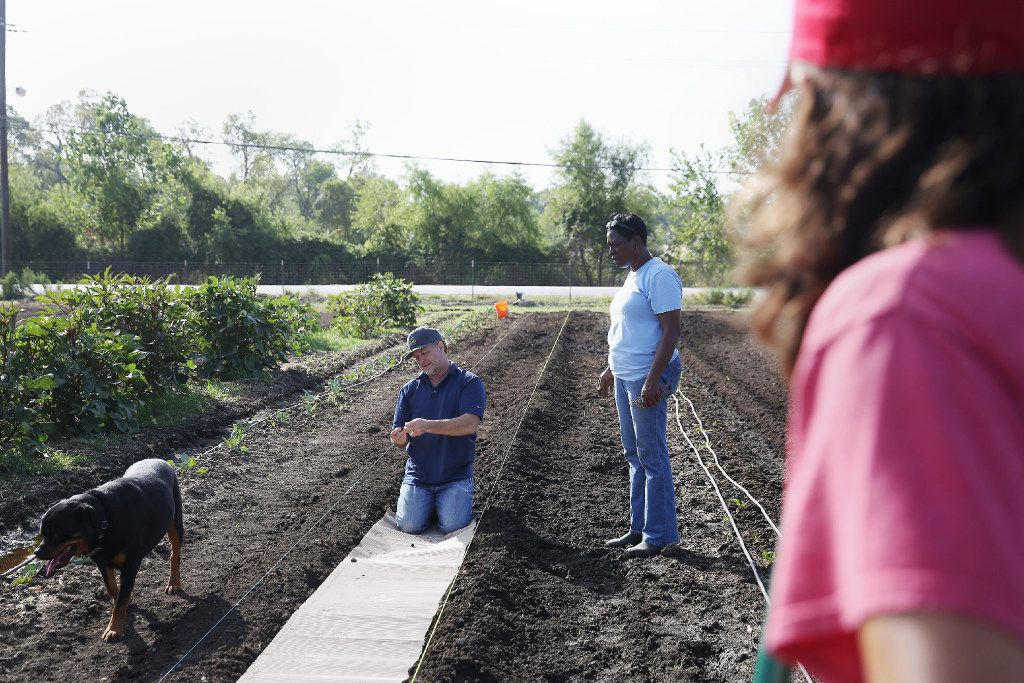 John Ramos (right) watches on as Daron Babcock (left) and farm manager Kim high (second to right) discuss row preparation as Cruz walks by at Bonton Farms off Ravenview Road in Dallas. The farm is preparing for their first fall crop on the land. (Andy Jacobsohn/The Dallas Morning News)