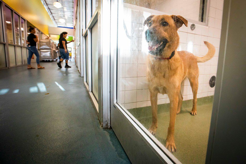 A dog named Lucas looks out from his kennel while awaiting adoption at the Dallas Animal Services & Adoption Center on Monday, June 11, 2018, in Dallas. Lucas was placed on a 10-day hold waiting for his owner to pick him up before he became eligible for adoption.