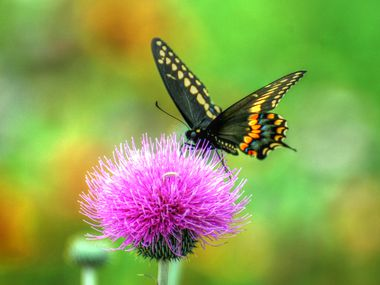 A black swallowtail rests on a Texas thistle.