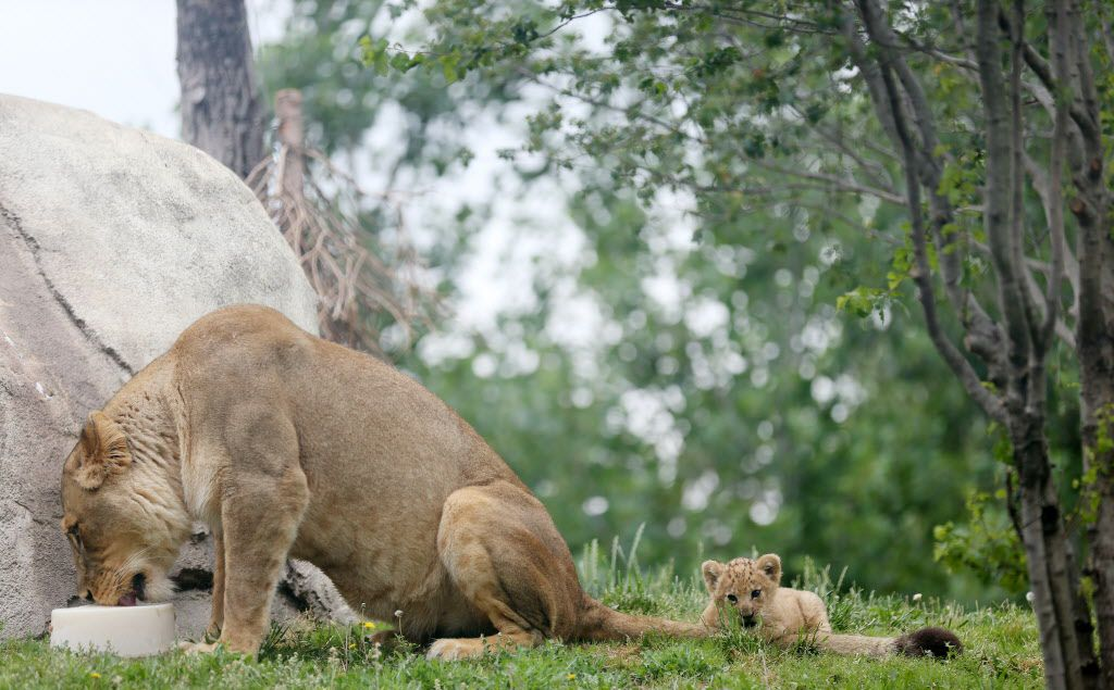 Bahati, a lion cub, plays with her aunt Jasiri's tail while making her public debut at the Dallas Zoo in Dallas Friday May 19, 2017. The cub was joined by her mother Lina and aunt Jasiri. Bahati is the first lion cub born at the zoo in 43 years. She was born weighting nearly 3 pounds on March 17 and she is now 13 pounds.