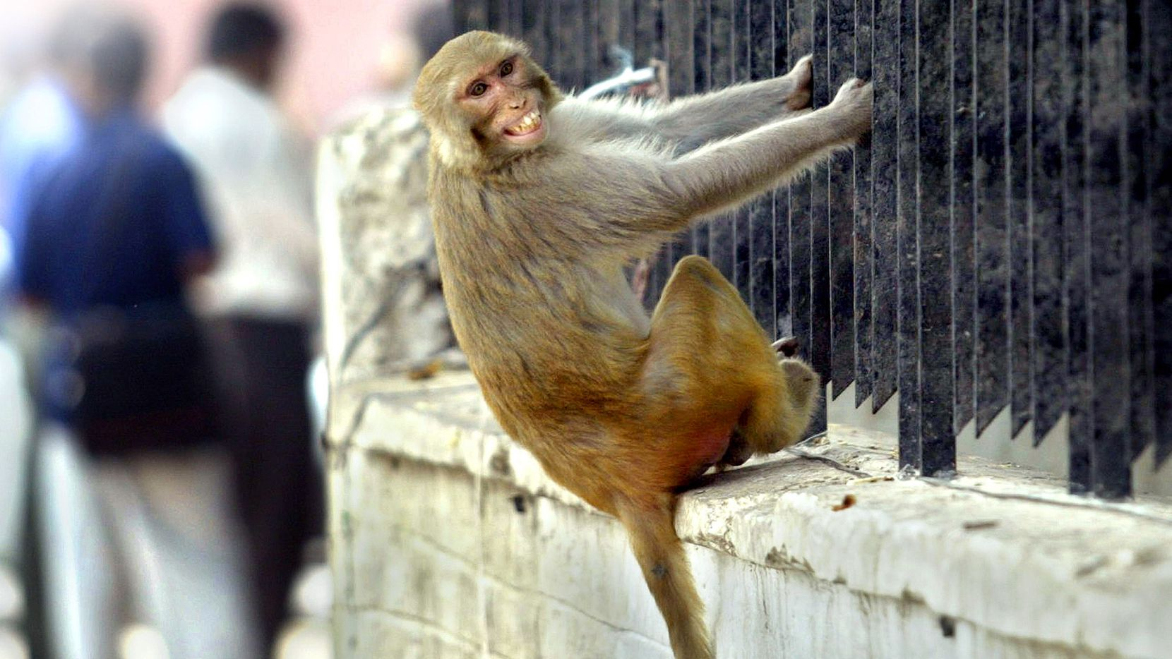 A Rhesus macaque grimaces as he hangs from a fence in India. A Rhesus macaque escaped from its cage Monday at the San Antonio International Airport.