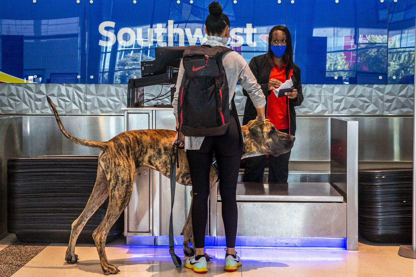 Southwest Airlines employee Ericka Thompson appeared to not know what to think in early October when Jennifer Melchionne of Houston and her great Dane, Blue, checked in for a flight at Dallas Love Field.