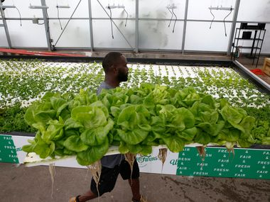 Barron Horton, landscape and greenhouse supervisor, hauls lettuce for harvest at Big Tex Urban Farms in the greenhouse on the Fair Park grounds in Dallas.