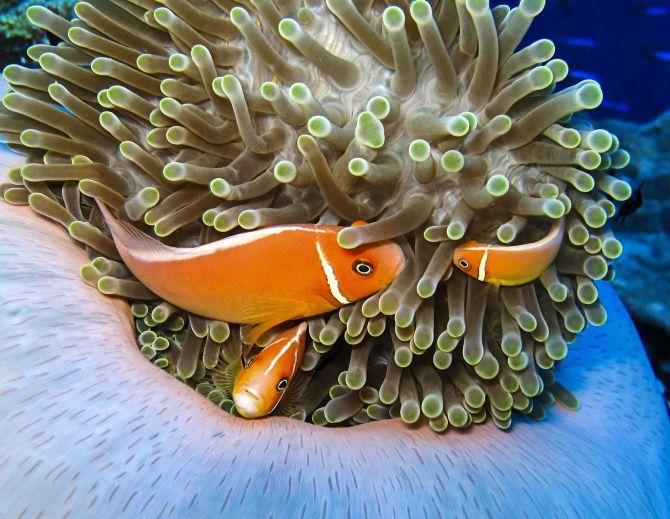 Anemone fish on an anemone. Kosrae, Micronesia.