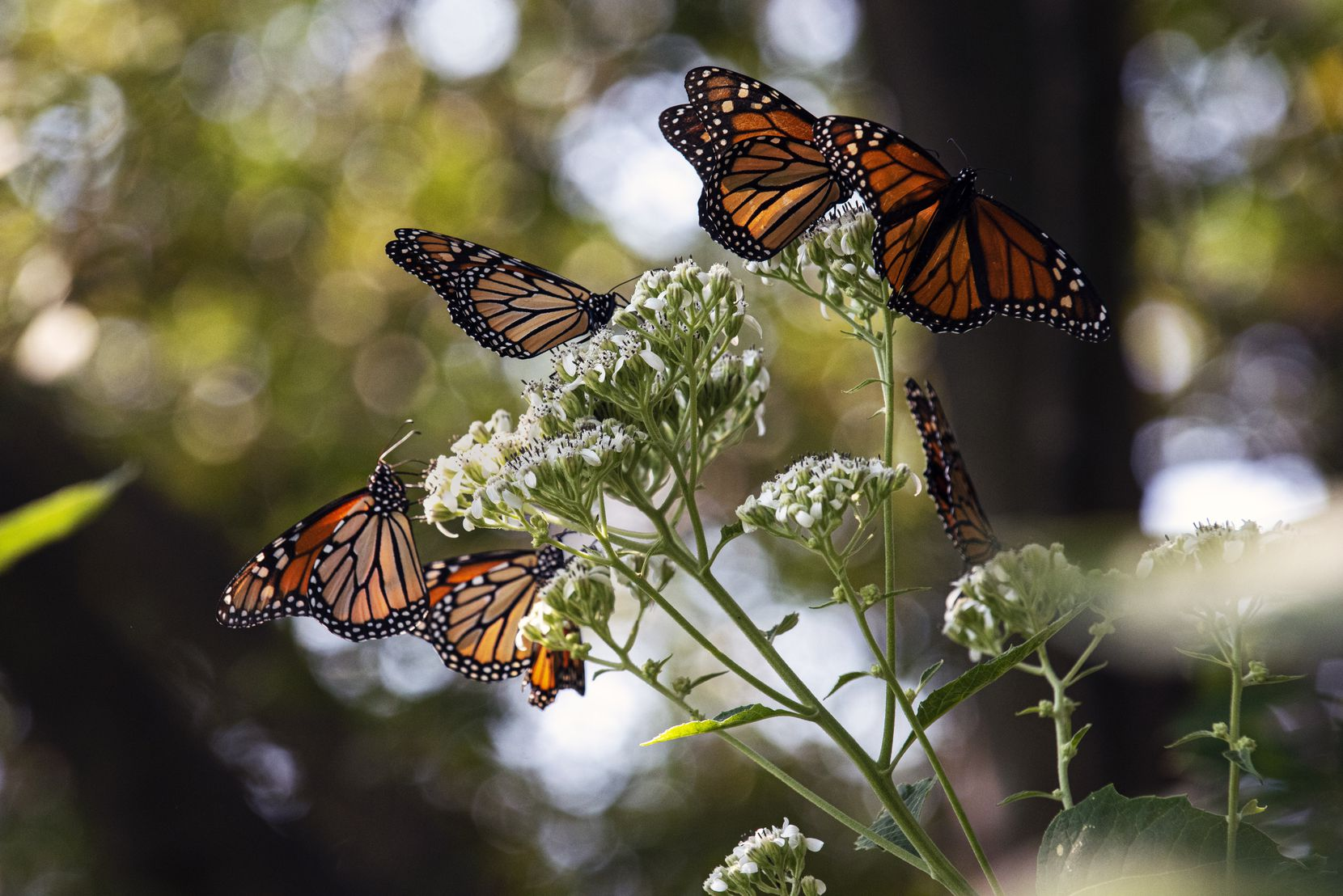 Monarch butterflies feast on frost weed at Texas Discovery Gardens.