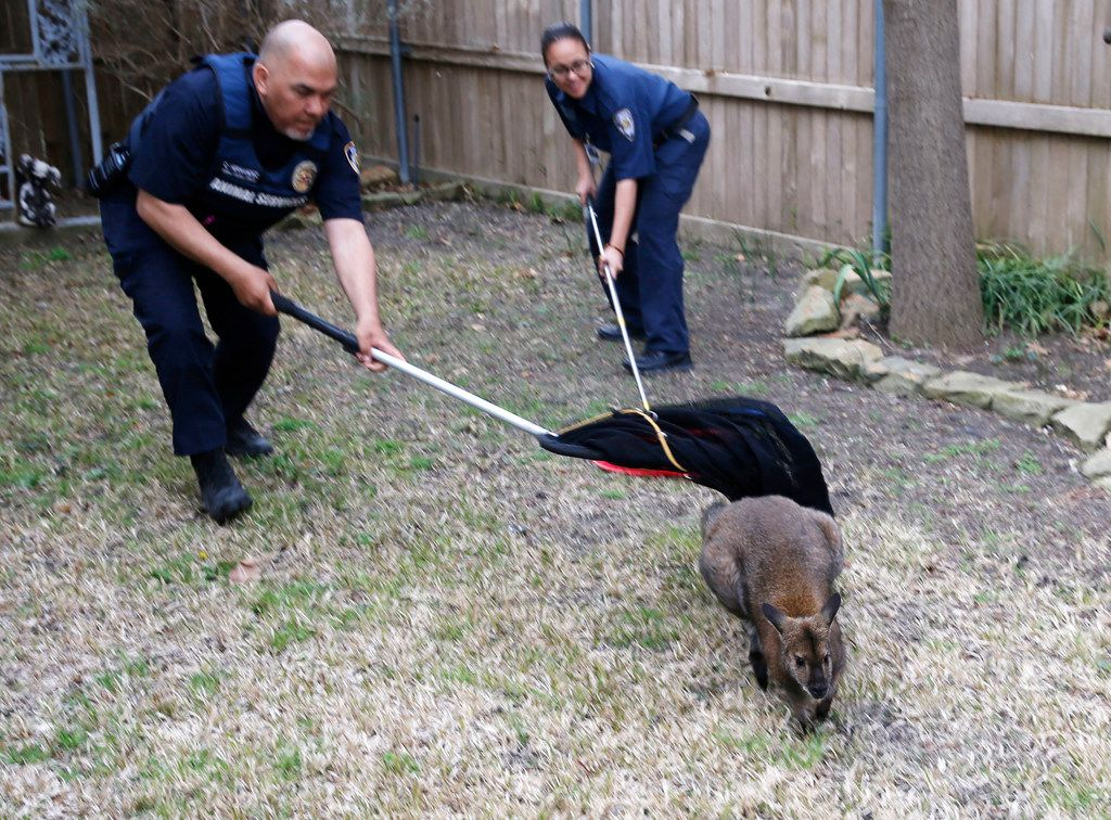 Dallas Animal Services officers Charles Hernandez and Sandy Castillo work on catching a wallaby.