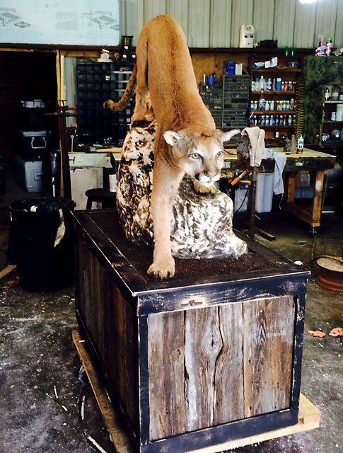 A taxidermist in Glen Rose mounted this mountain lion that Wesley Monk shot and killed in October 2014 while deer hunting in Somervell County, about 50 miles southwest of Fort Worth. A game warden said at the time that it was the first mountain lion killed in the area in a dozen years.