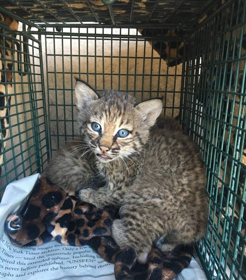 Bobcat kittens are distinguished by their black-tipped ears and bobbed tails.
