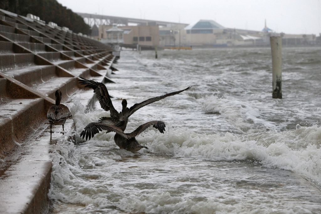 Pelicans battle the wind and waves as Hurricane Harvey hits Shoreline Blvd. in  Corpus Christi, Texas on Aug. 25, 2017.   (Nathan Hunsinger/The Dallas Morning News)
