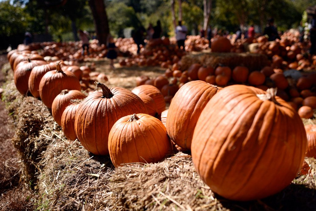 Some of the many pumpkins on display at the Pumpkin Village during Autumn at the Arboretum.