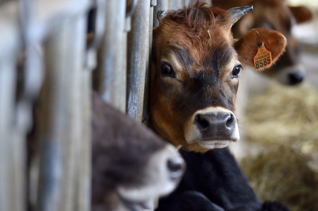 A calf is pictured in a cow pen of an organic dairy farm in Evran, western France, on February 10, 2017.